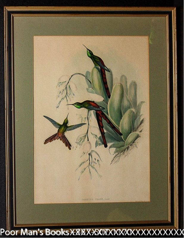 Image for HAND-COLORED LITHOGRAPH. GOULD, JOHN. COMETES PHAON 1865